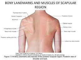 Muscle Anatomy Of Shoulder Anatomy Of The Upper Extremities Gray U0027s