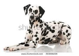 dalmatian stock images royalty free images u0026 vectors shutterstock