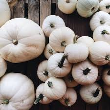 white pumpkins white pumpkins pictures photos and images for