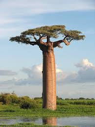 baobab tree names pictures and types of adansonia species