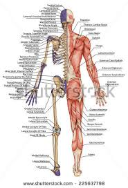 Picture Of Human Anatomy Body Pubic Bone Stock Images Royalty Free Images U0026 Vectors Shutterstock