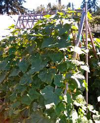 cucumber vine on a frame trellis for support eden makers blog by