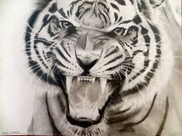 white tiger home decor drawn tiger growling tiger pencil and in color drawn tiger