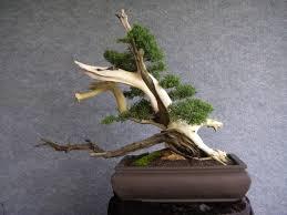 pot bonsai design bonsai northside nursery driftwood infusion or tanuki bonsai