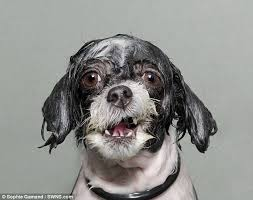 Dogs In The Bathtub Adorable Pictures Of Soaked To The Bone Dogs Fresh Out Of The