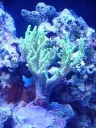 good corals for beginners u2013 leather corals reef aquarium