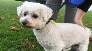 bichon frise 17 years old beloved u0027escape artist u0027 baxter reunited with family after 14