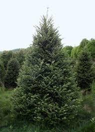 fraser fir america s premium tree
