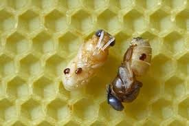 the controversial topic of treatment free beekeeping perfectbee