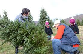 the hunt for christmas trees begins in lancaster county local