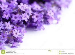 lavender flowers royalty free stock images image 32051099