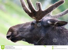 closeup of moose head royalty free stock image image 20864256