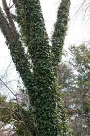live plant hedera helix baltica ivy very cold hardy evergreen