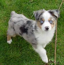 7 month old australian shepherd puppy hi