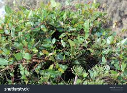 native australian ground cover plants black coral pea kennedia nigricans species stock photo 147991328