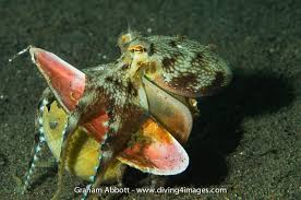cephalopod gallery of species bali komodo papua indonesia