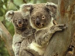 koalas gunnedah gunnedah attraction