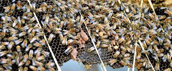 backyard beekeeping takes flight in torrance u2013 daily breeze