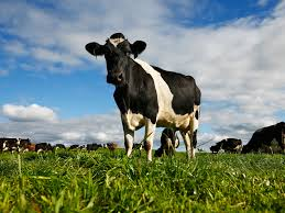 cows have u0027remarkable u0027 ability to fight hiv and could hold clue to