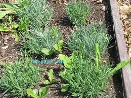 square foot gardening is simply using easily maintained herbed