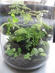 what are the best micro ferns mosses for a small closed plant