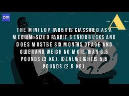 Kims Rabbit Hutch How Big Is A Mini Lop Rabbit Youtube