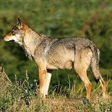 to punjabi dictionary meaning of wolf in punjabi is