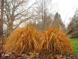 ornamental grasses perennial gardening
