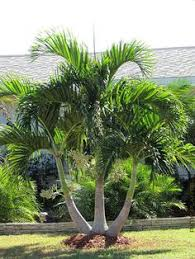Modern Front Yard Desert Landscaping With Palm Tree And Image Detail For Christmas Palm Triple Tree Finally Found A Great