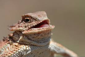 Reptile Memes - image 805414 laughing lizard hhhehehe know your meme