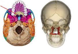 Human Anatomy Skull Bones Skull Bones In The Human Body Skull Anatomy Learn Bones