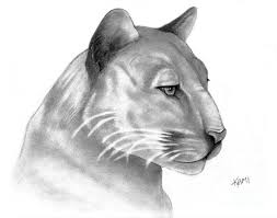 florida panther drawing by kami catherman