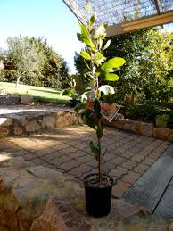 Pin Cushion Tree Pincushion Hakea Gippsland Granny