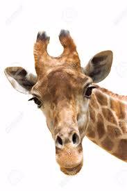 giraffe head stock photos u0026 pictures royalty free giraffe head