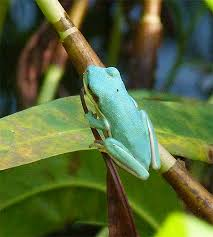 blue green tree frog nature