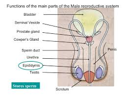 The Anatomy Of The Male Reproductive System Reproductive System