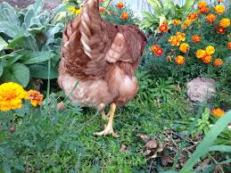 keeping a blind chicken backyard chickens
