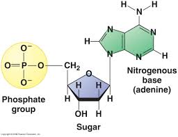 nucleotide a building block of dna consisting of five carbon