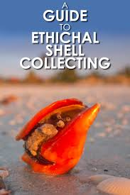 Where To Buy Seashells A Guide To Ethical Shell Collecting Travel For Wildlife