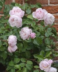 Fragrant Rose Plants - rose u0027the generous gardener u0027 ausdrawn