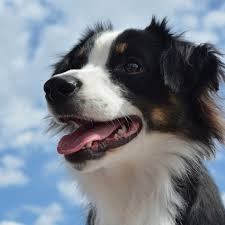 an australian shepherd lifespan australian shepherd dog breed information and facts