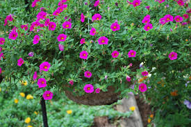 flowers to choose for hanging baskets hanging flower baskets