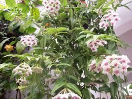 184 best flowering houseplants images on pinterest succulents
