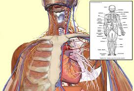 Anatomy Of Human Body Pdf Netter Human Anatomy Online Free Page 3 Awesome Pictures And