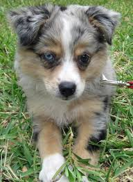 australian shepherd name origin this puppy would sure look great in my apartment lust list