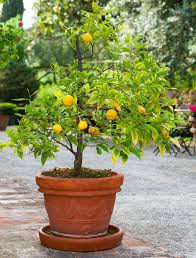 Winter Indoor Garden - 16 best edible gardening images on pinterest fruit trees citrus