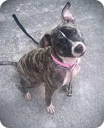american pitbull terrier mix banjo adopted dog palm bay fl american pit bull terrier