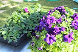 Hanging Flowers How To Plant A Professional Looking Hanging Flower Basket