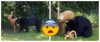 bear wanders into back garden and attacks fake deer ntd inspired