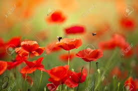 Pictures Of Flowers by Poppy Flowers Stock Photos U0026 Pictures Royalty Free Poppy Flowers